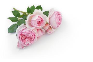 Rosenzweig liegt auf weißem Hintergrund