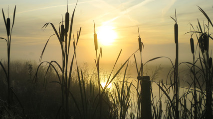 Wall Murals Nature dawn over the bulrush reeds, zonsopgang en lisdodde