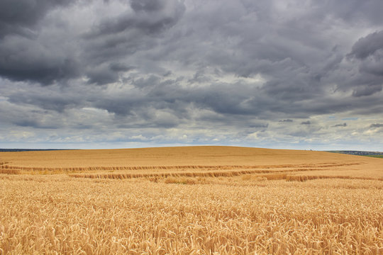 wheat field and storm clouds,on the hill the wheat has ripened with black storm clouds, bent and the wheat lies on the field after the storm