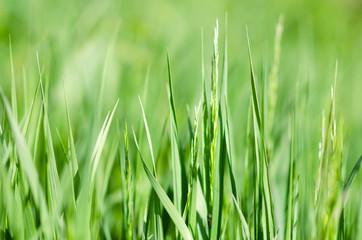 Obraz wiosenna zielona trawa na łące z małą głębią ostrości - fototapety do salonu