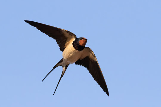 Portrait of a flying barn swallow (rustica hirundo) in front of blue background in germany
