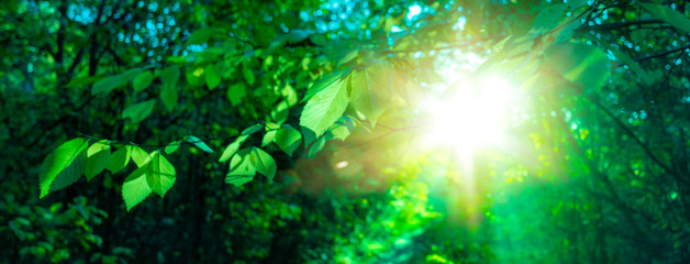sun beautifully illuminatin from green leaf on blurred background natural leaves plants landscape, ecology, fresh wallpaper concept.