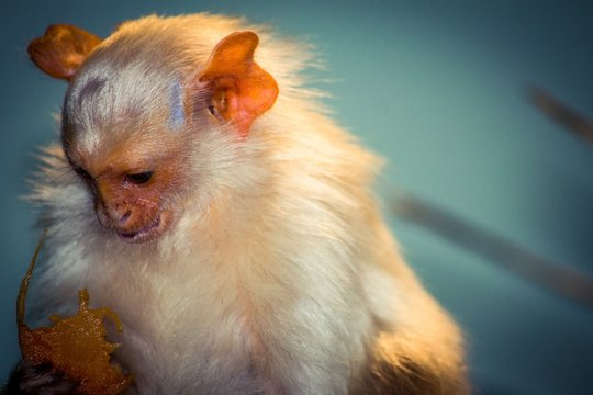 Close-up Of Silvery Marmoset Monkey