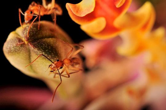 Hormigas rojas caminan sobre bilbo de la orquídea Myrmecophila christinae, planta endémica de la Península de Yucatán, México