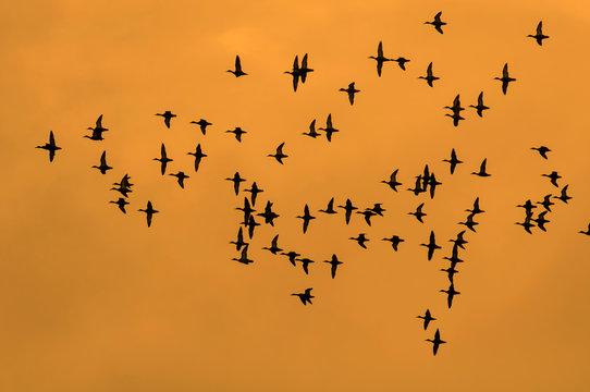 Parvada de patos en vuelo, siluetas sobre fondo de atardecer dorado naranja, en la Peninsula de Yucatan, Mexico.