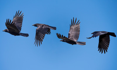 black crow flying sequence
