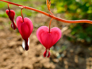 bleeding heart with flowers in spring