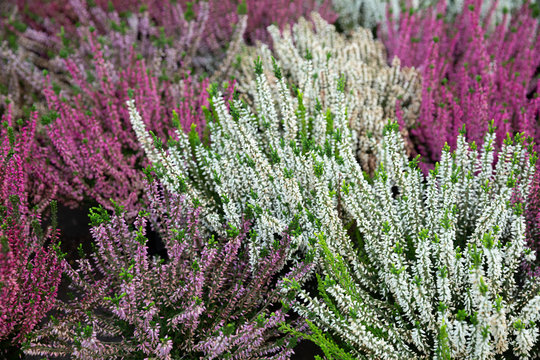 Blooming heather in greenhouse