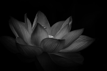 Garden Poster Lotus flower Close-up Of Lotus Water Lily Against Black Background