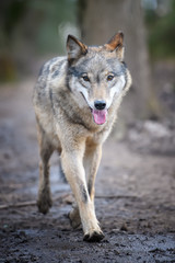 Wall Mural - Gray wolf, Canis lupus, in the forest. Wolf in the nature habitat