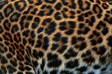 Wall Mural - Leopard skin texture for background  (real fur)