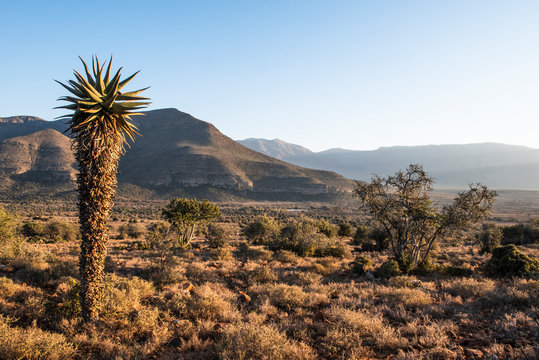 Aloe ferox plan in the arid Great Karoo
