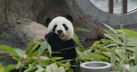 Fototapete - Big panda at zoo park