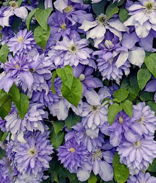 Lush flowering lilac flower of clematis creeper. Natural floral background.