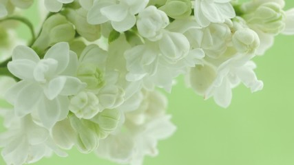 Fotoväggar - White Lilac flowers bunch background. Beautiful opening white Lilac flower Easter design closeup. Beauty fragrant tiny flowers open closeup. Nature blooming flowers backdrop. Time lapse 4K UHD video.