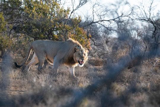 Male lion stalking through the arid Great Karoo bushveld
