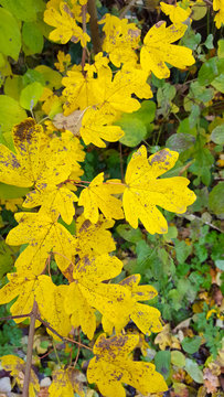 Yellow autumn leaves of Field Maple (Acer campestre)