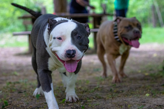American Bully dog in the park