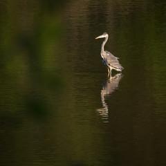 grey egret heron on a lake