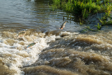 Fish rudd feather jumping at rapids in Burgenland