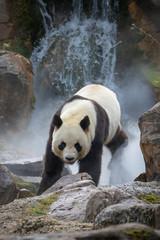 Poster Panda Giant Panda