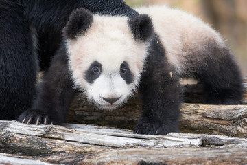 Foto auf Acrylglas Pandas Cute Giant panda cub playing