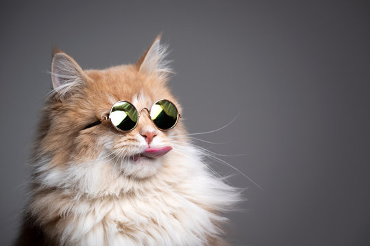 funny studio shot of cool maine coon cat wearing sunglasses sticking out tongue on gray background with copy space