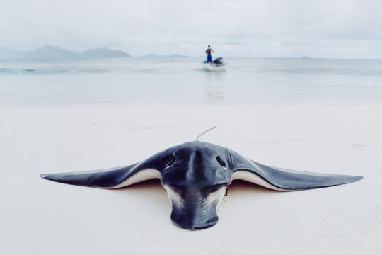 Unspecified ray catch at the beach of the Seychelles on the island of LA Digue.