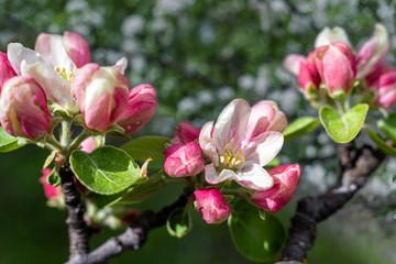 Fototapeta Pink apple blossom in the garden, close up.