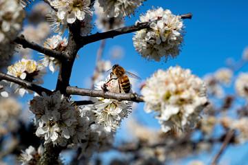 Papiers peints Fleur de cerisier Abeille et fleur de cerisier