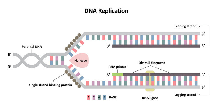 DNA replication diagram, leading and lagging strands, molecular biology for science study and research