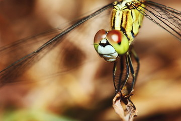Macro picture of dragonfly in the nature