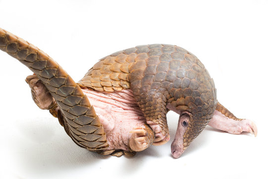 Pangolin (Manis javanica) isolated on white background