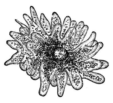 Amoeba, vintage illustration.