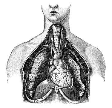 Lungs, vintage illustration.