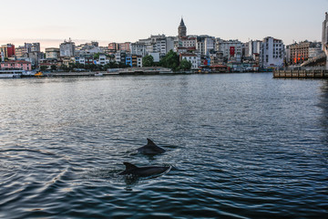 Fotomurales - A group of dolphins in Istanbul
