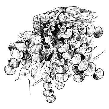 Halimeda Tuna, vintage illustration.
