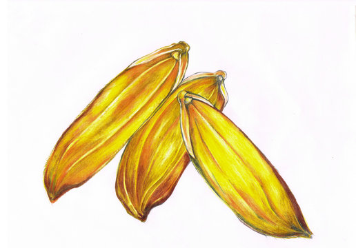 The art painting with colour pencil or pastel of yellow rice seeds.