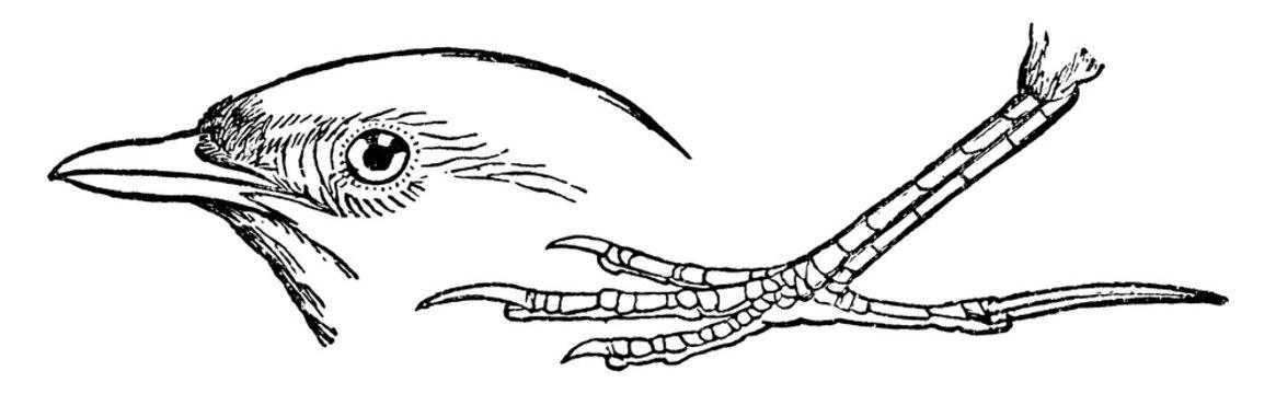 Lark or Alauda arvensis, vintage illustration.