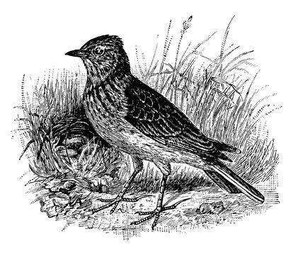 Skylark/Alauda arvensis, vintage illustration