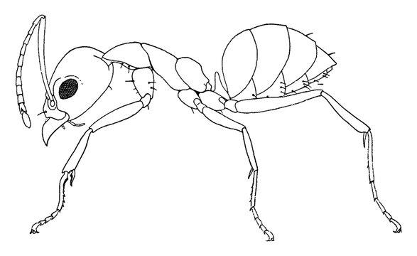 Argentine Ant, vintage illustration.