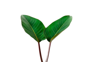 Wall Mural - Beautiful Tropical leaf isolated on white background with clipping path for design elements, Flat lay