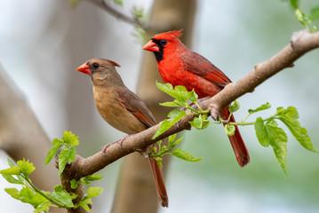 Northern Cardinal Pair in Spring