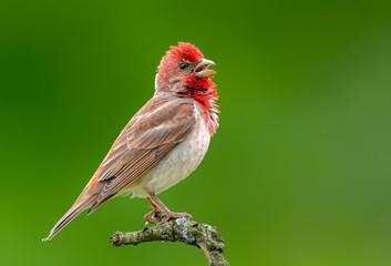 Common rosefinch ( carpodacus erythrinus ) male Fotomurales