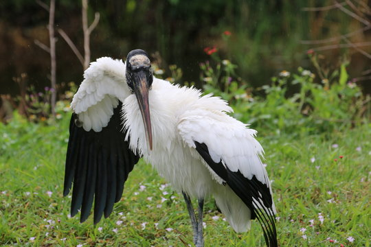 a large wood stork in the forest