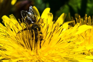 Beautiful macro picture of a bumblebee taking nectar from yellow dandelion under the sunlight