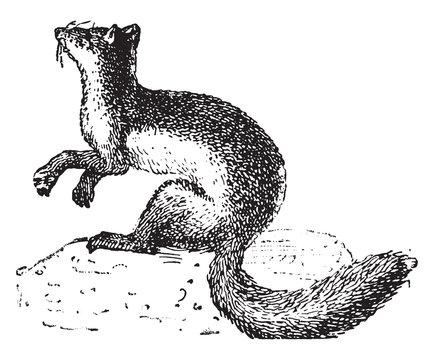 Weasel (animal), vintage illustration.