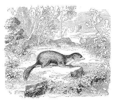 Weasel animal, vintage illustration.