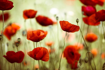 Foto op Canvas Poppy Summer Poppy Meadow