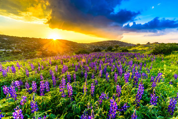 Aluminium Prints Texas Blue lupine flowers at sunset on a hillside of the Valley of Elah - biblical place where David fought Goliath, Israel